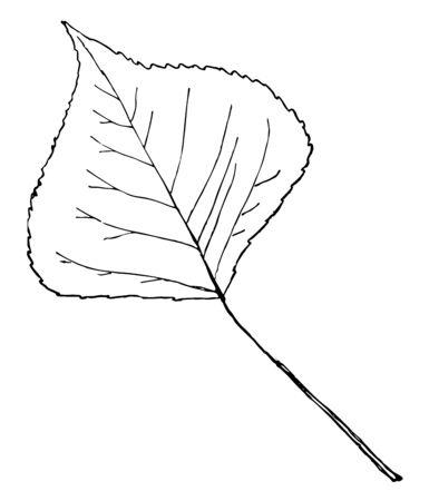 A leaf of Large-Tooth Aspen tree, vintage line drawing or engraving illustration.  イラスト・ベクター素材