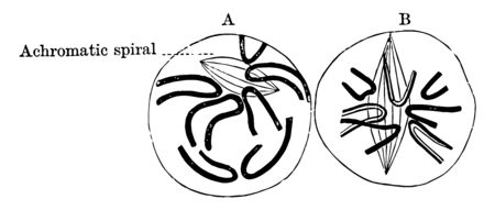 The thick fibers split into two and the achromatic spindle becomes longitudinal, vintage line drawing or engraving illustration.