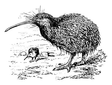 Tokoeka is a species of the kiwi bird, vintage line drawing or engraving illustration.