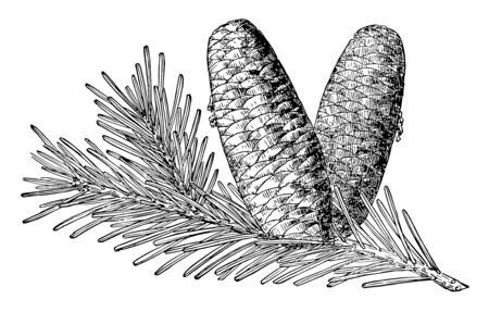 Each cone is in an upright position, and its spikelike axis remains on the branch after the mature cone falls apart. Each thin, rounded cone scale bears two broadly winged seeds, vintage line drawing