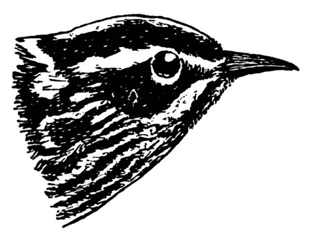 Black and White Warbler is a small New World warbler, vintage line drawing or engraving illustration.