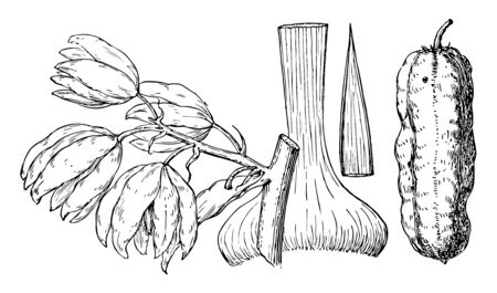 A picture showing sword shaped leaves, bunch of flowers and a Gourd shaped fruit, vintage line drawing or engraving illustration.