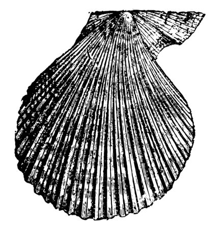 Pecten varius is any comb like structure in animals, vintage line drawing or engraving illustration.