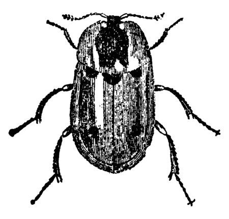 Carrion Beetle that mainly feed on snails, vintage line drawing or engraving illustration.