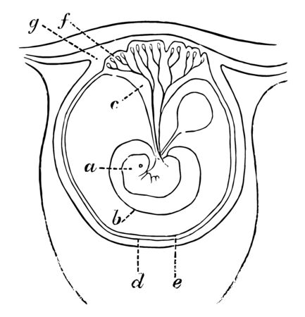 This illustration represents Early Formation of the Placenta, vintage line drawing or engraving illustration.
