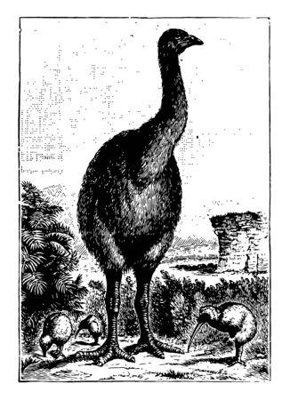 Moa were nine species of flightless birds endemic to New Zealand, vintage line drawing or engraving illustration. Ilustracja