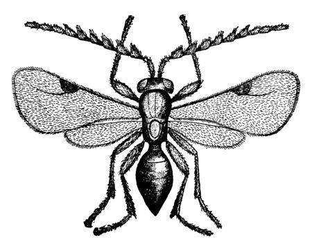 Weizenlaus, die ein Ceraphron triticum, eine Vintage-Linienzeichnung oder eine Gravierillustration ist.