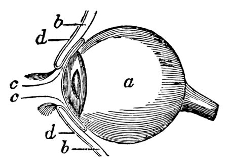 This illustration represents Side View of the Eyeball, vintage line drawing or engraving illustration.
