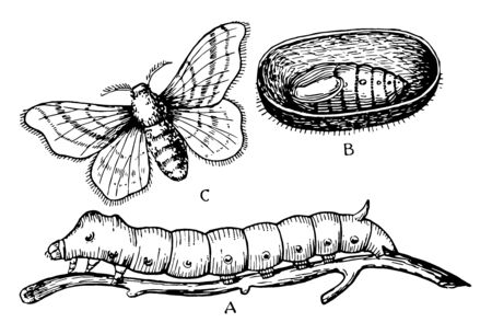 Silk Moth Stages where the cocoon is cut open to show the pupa lying within, vintage line drawing or engraving illustration.