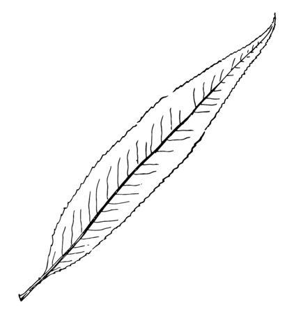 A picture of long, lobed and pointed leaf, vintage line drawing or engraving illustration.