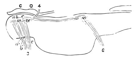 Diagram of a longitudinal section through the pons showing the relation of the nuclei for the ocular muscles, vintage line drawing or engraving illustration.
