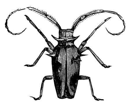 Capricorn Beetle which is generally distinguished by the great length of their entennae, vintage line drawing or engraving illustration.