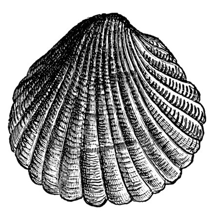 Cockle is a small edible marine bivalve mollusc, vintage line drawing or engraving illustration. 向量圖像