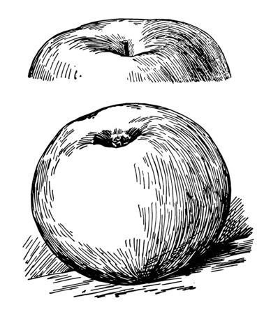 In this image there is a Rhode Island greening apple, vintage line drawing or engraving illustration. Çizim