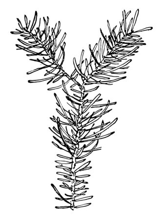 This image is showing the leaflets of Fir. These are flat needle-shaped leaves. These are typically arranged in two rows, vintage line drawing or engraving illustration.