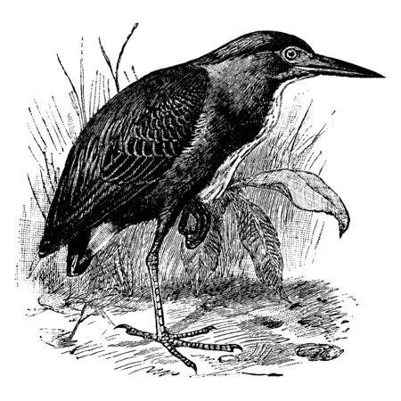 Green Heron is a small wading bird in the Ardeidae family of herons, vintage line drawing or engraving illustration.