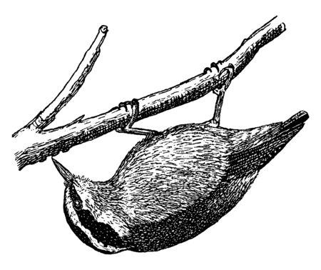 Red breasted Nuthatch is a small songbird, vintage line drawing or engraving illustration. 向量圖像
