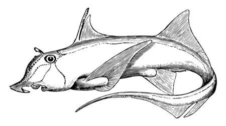 Elephantfish is a species of fish in the Chimaeriformes order of chimaeras, vintage line drawing or engraving illustration. Ilustração