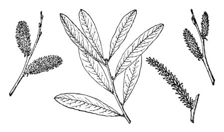 It is the branch of Arroyo Willow tree. It is also known as Salix lasiolepis and is a species of willow native to western North America, vintage line drawing or engraving illustration. 일러스트