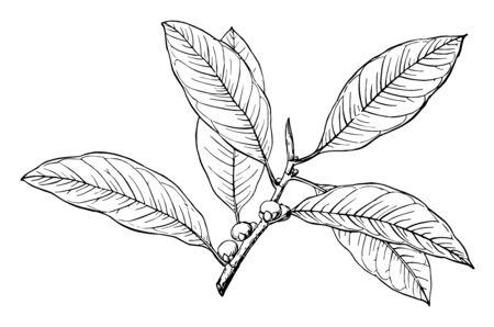A branch of Florida strangler Fig, vintage line drawing or engraving illustration. Ilustracja