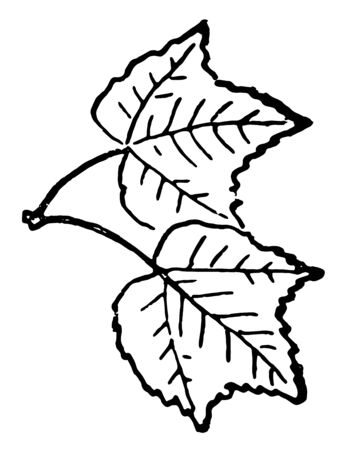 This card has leaves on it. Two leaves are shown which are attached to each other. There primary veins are connected to each other. All leaves have primary & secondary vein. , Vintage line drawing or engraving illustration.