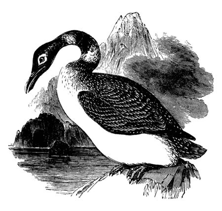 Great Northern diver also known as common loon is a large member of the loon or diver family of birds, vintage line drawing or engraving illustration.