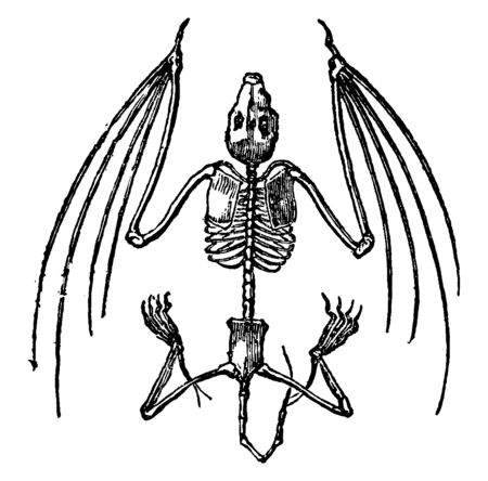 Bat Skeleton where bats are well adapted for powered flight, vintage line drawing or engraving illustration.