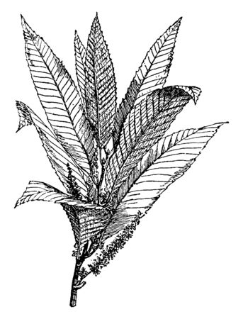 A bunch of pointed, widely spaced and long chestnut leaves, vintage line drawing or engraving illustration. Ilustração