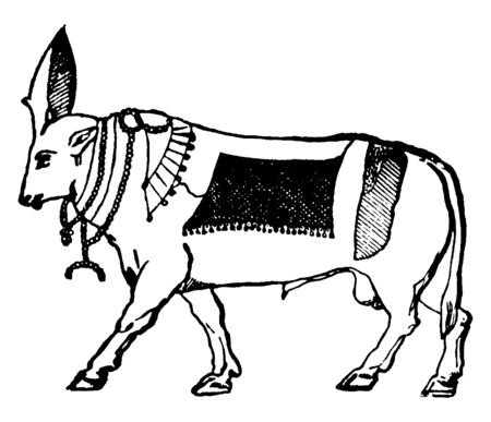 In this image worshipped a bull with divine honours by the ancient Egyptians. They are great divinity of Egypt, vintage line drawing or engraving illustration.