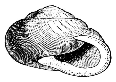 Garden Snail is a terrestrial pulmonate gastropod mollusc in the family Helicidae, vintage line drawing or engraving illustration.