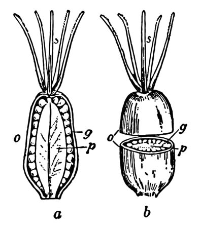 A drawing having two pictures of cashew fruit. One is cut into half pieces from up to down and other is of cashew cut in two pieces from centre, vintage line drawing or engraving illustration.