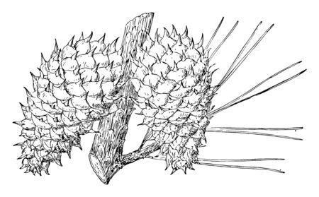 A photo of thick and thorny cones hanging on a branch of a tree, vintage line drawing or engraving illustration.
