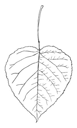 This image is showing the leaf of Aspen Poplar. The leaves of this three are oval or heart-shaped in outline, vintage line drawing or engraving illustration. Illustration