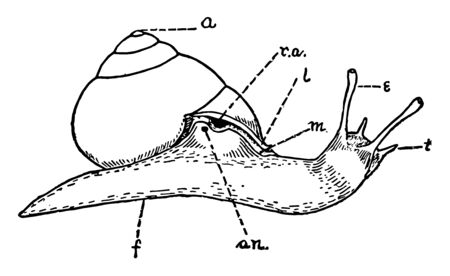 Helix Snail is the relation of the animal to the shell when extended, vintage line drawing or engraving illustration.