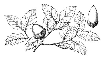 In this frame is a tree named Quercus Charousoslipis, it has a thin spraying leaves. It seems like the cap (nuts) that the fruit is, vintage line drawing or engraving illustration. Çizim