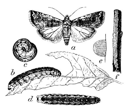 Moth Larva and Eggs where moth are considered a serious pest, vintage line drawing or engraving illustration.