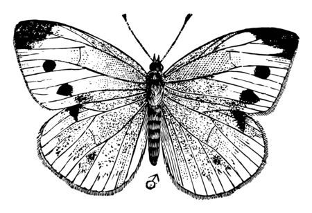 Small White Butterfly which is also known as the small cabbage white and in New Zealand, vintage line drawing or engraving illustration.