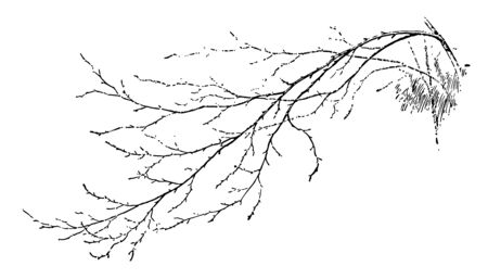 A picture showing twig or branches of a tree, vintage line drawing or engraving illustration.
