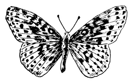 A Belona Butterfly which is a North American butterfly in the brushfoot family, vintage line drawing or engraving illustration. Illustration