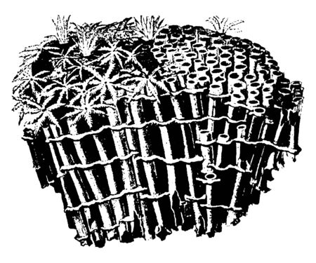 Coral which are classified as cnidarians, vintage line drawing or engraving illustration.