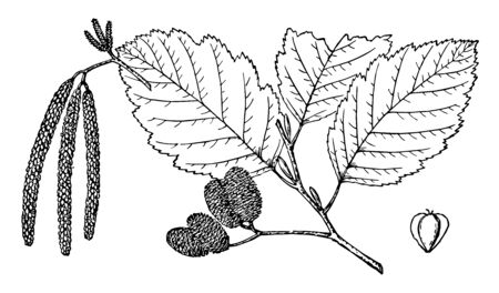 The branch of Alnus Oregon Tree and its pages are large in this frame, vintage line drawing or engraving illustration.