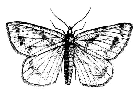 This illustration represents Gooseberry Spanworm, vintage line drawing or engraving illustration.
