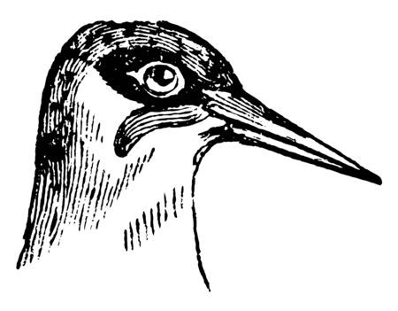Head of a Green Woodpecker is a bird belonging to the Scansores order, vintage line drawing or engraving illustration. Ilustração