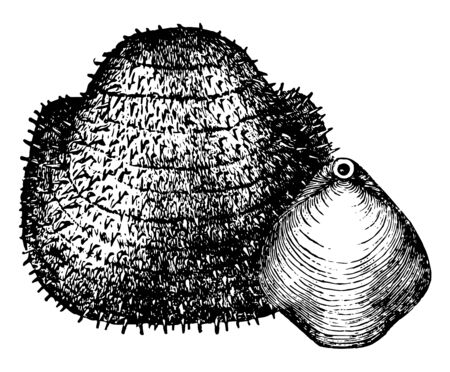 Ancient Mollusks from the Carboniferous Age the Productus Nebrascensis and the Athyris subtilita, vintage line drawing or engraving illustration.
