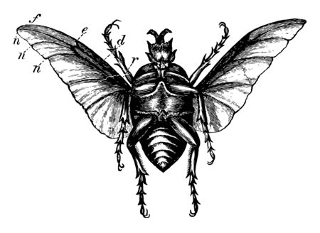 Large Beetle in which they bear a very marked resemblance, vintage line drawing or engraving illustration.
