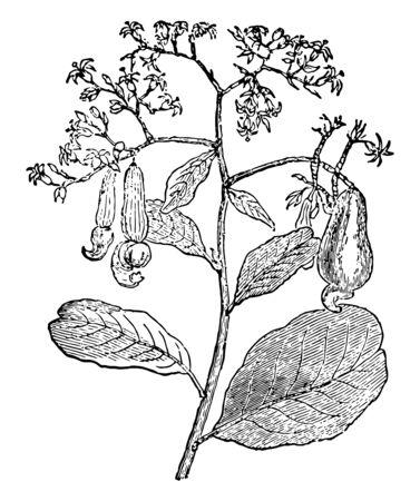 Une photo d'une branche de noix de cajou sur laquelle sont accrochées des noix de cajou, un dessin de ligne vintage ou une illustration de gravure. Vecteurs