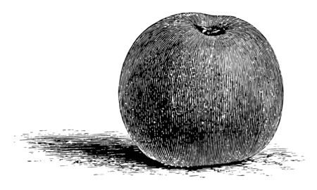 In this image The Reinette Grise apple is a dessert apple. The apple has a sugary flavour, vintage line drawing or engraving illustration.