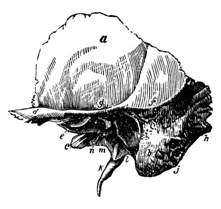 This illustration represents The Squamous Portion of the Temporal Bone, vintage line drawing or engraving illustration. Illustration