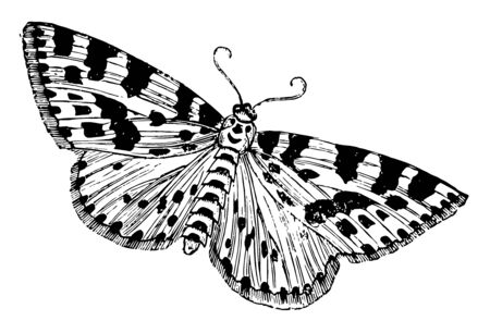 Gooseberry or Magpie Moth is often mistaken for a butterfly, vintage line drawing or engraving illustration.