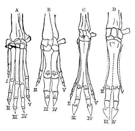 A comparison of vertebrate hands, vintage line drawing or engraving illustration.